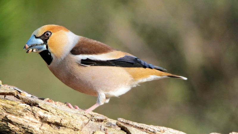 Appelvink [Coccothraustes coccothraustes]. Man. 2020-07-22-001