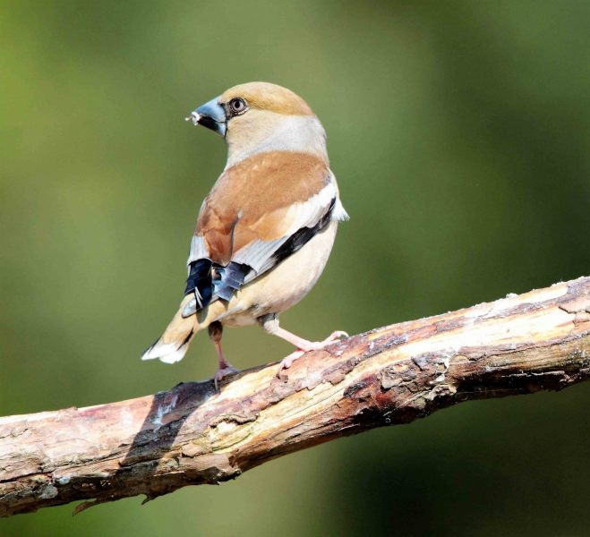 Appelvink [Coccothraustes coccothraustes]. Pop. 2020-07-22-001