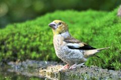 Appelvink [Coccothraustes coccothraustes]. Jonge vogel. 2020-07-22-002