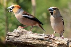 Appelvink [Coccothraustes coccothraustes]. Koppel. 2020-07-22-001